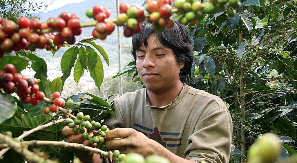 bio-kaffee-ernte per hand