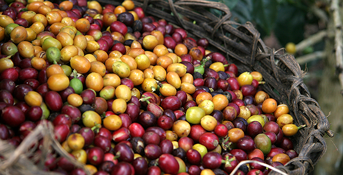 Kaffeekirschen bei der Ernte