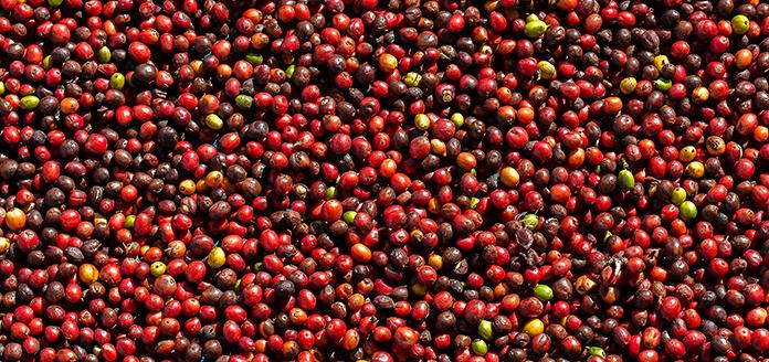 ernte und aufbereitung von kaffeekirschen