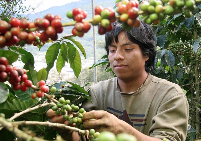 kaffeebauer beim pflücken von kaffeekirschen
