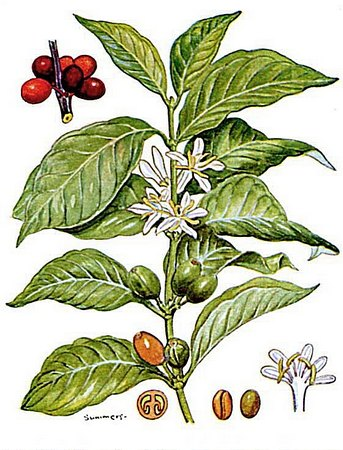 Coffea_arabica_2